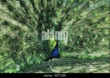 Portrait Of Peacock - Stock Photo
