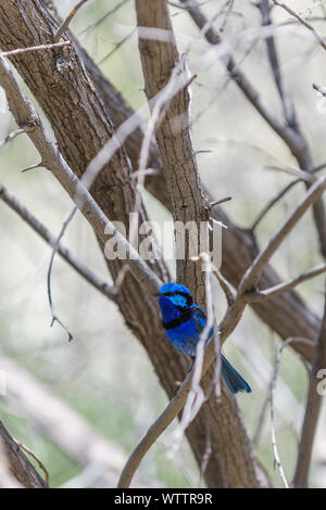 Stunningly beautiful male Splendid fairy wren - Stock Photo