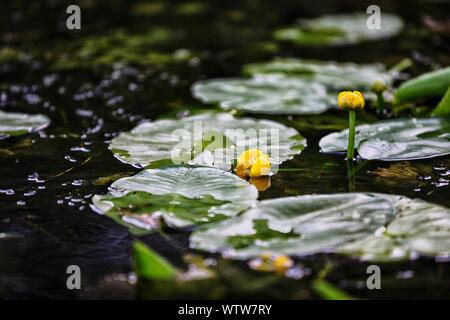 Yellow Flower Pods With Leaves Floating In Pond