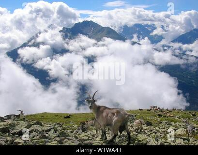Goat On The Top Of The Mountain - Stock Photo