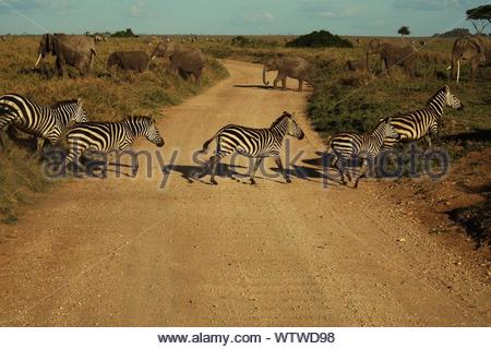 View Of Zebras And Elephants Crossing Road - Stock Photo
