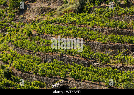Vineyards in espalier on the slopes of a hill in Ribera Sacra, Ourense, Galicia. - Stock Photo