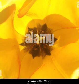 Extreme Close Up View Of Yellow Tulip - Stock Photo
