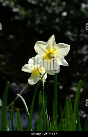 White Daffodil Flowers - Stock Photo