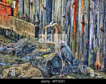 Great Blue Heron Standing On Rocks Against Weathered Wall - Stock Photo
