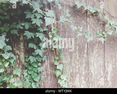 Abandoned Wooden Door With Green Creeper Plants - Stock Photo