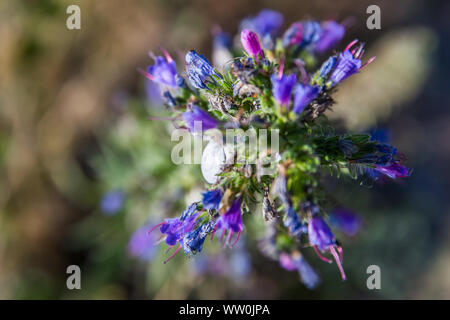 White Snail on Blue Purple Wild Flower in Mont Saint-Michel Bay in Normandy France - Landscape version - Stock Photo