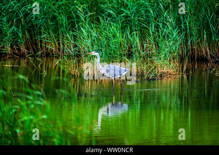 Grey heron (Ardea cinerea) stalking fish at Teifi Pools Nature Reserve near Cardigan, West Wales - Stock Photo