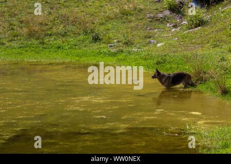Beauty German shepherd dog in a mountain pond