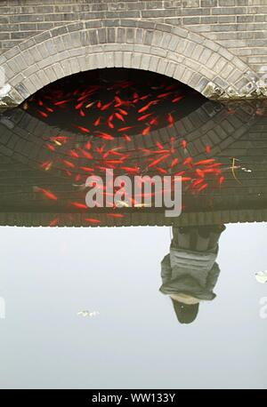 Koi Fishes In Pond - Stock Photo
