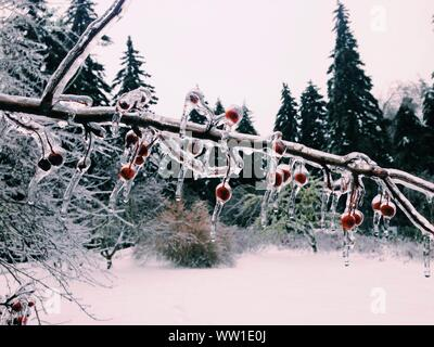 Close-up Of Red Hips On Branch With Snow - Stock Photo