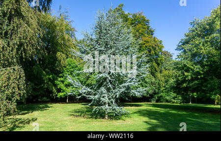 Cedrus Atlantica Glauca tree, also known as Blue Atlas Cedar a large evergreen cedar tree with needle like leaves, seen here in a parkland setting. - Stock Photo