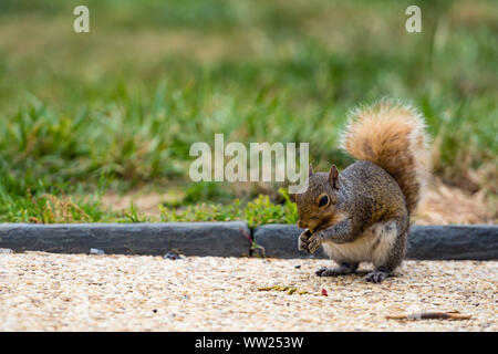 A squirrel in a park at Capitol Hill Grounds - Stock Photo