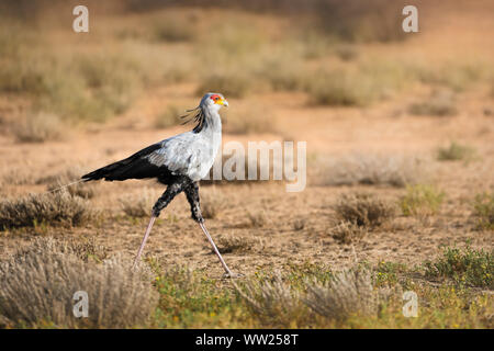 Secretary bird walking in soft light in the Kgalagadi foraging for potential prey. South Africa. Sagittarius serpentarius - Stock Photo