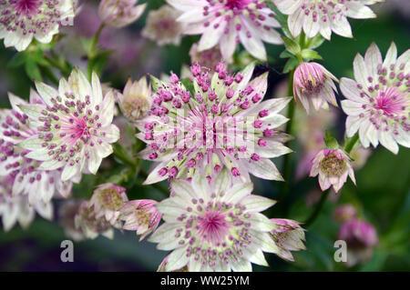 Pale Pink Astrantia major 'Buckland' Flowers grown in a Border at RHS Garden Harlow Carr, Harrogate, Yorkshire. England, UK.