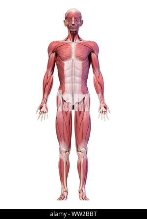 Human anatomy 3d illustration, male muscular system full body, frontal view. On white background. - Stock Photo