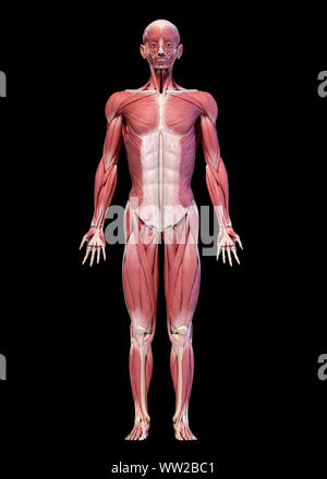 Human anatomy 3d illustration, male muscular system full body, frontal view. On black background. - Stock Photo