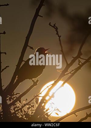 Blackbird Turdus merula male in song at dawn in garden North Norfolk May - Stock Photo