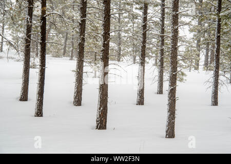Ponderosa Pine forest in winter, Bryce Canyon National Park, Utah, USA - Stock Photo