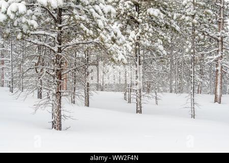 Fresh winter snow in the ponderosa pine woodland, Bryce Canyon National Park, Utah, USA - Stock Photo