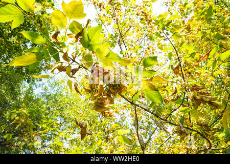 bottom view of ripe fruits and yellowing leaves of ashleaf maple with blue sky on background in city park on sunny autumn day - Stock Photo