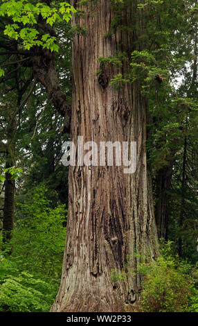 CA03567-00...CALIFORNIA - Big Tree, a popular destination for visitors to Prairie Creek Redwoods State Park; part of Redwoods National and State Parks - Stock Photo