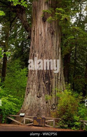 CA03568-00...CALIFORNIA - Big Tree, a popular destination for visitors to Prairie Creek Redwoods State Park; part of Redwoods National and State Parks - Stock Photo