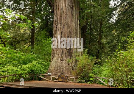 CA03569-00...CALIFORNIA - Big Tree, a popular destination for visitors to Prairie Creek Redwoods State Park; part of Redwoods National and State Parks - Stock Photo