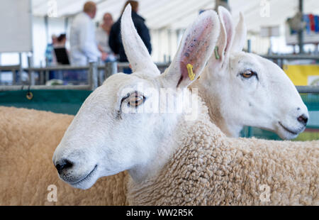 Close up of two Border Leicester sheep in a pen at an English county show Stock Photo
