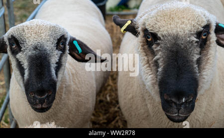 Close up of two Brown Headed Meat sheep in a pen at an English county show Stock Photo