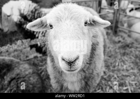 Close up of a sheep in a pen at an English county show in black and white Stock Photo