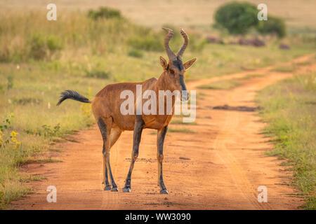 Portrait of a red hartebeest (Alcelaphus buselaphus), Welgevonden Game Reserve, South Africa. - Stock Photo
