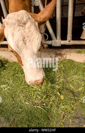 A cow eats fresh grass at the stable of an organic farmer - Stock Photo