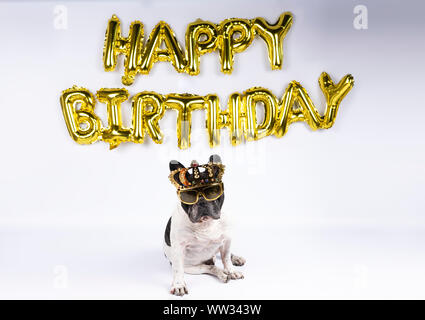young french bulldog with crown glasses celebrating birthday with happy birthday balloons on white background - Stock Photo