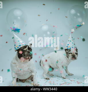 Two french bulldog celebrating birthday with balloons and confetti in the air on white background - Stock Photo