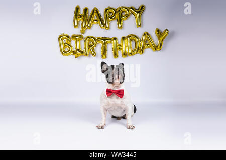 young french bulldog with red bow tie celebrating birthday with happy birthday balloons on white background - Stock Photo