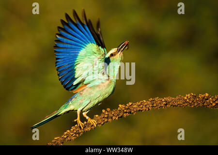 European roller taking off from dry plant looking upwards in summer - Stock Photo