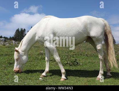 young white albino horse grazing green grass in meadow in mountain - Stock Photo