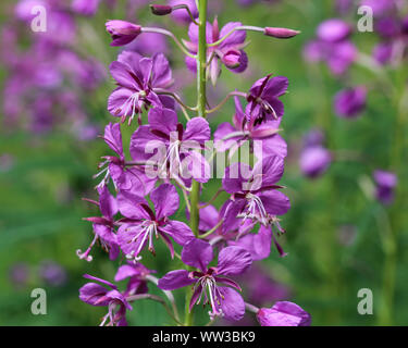 close up of Chamaenerion angustifolium, known as fireweed, great willowherb and rosebay willowherb - Stock Photo
