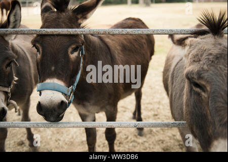 Close Up of Donkeys Standing at a Fence - Stock Photo