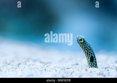 Spotted Garden Eel-Heteroconger hassi - saltwater fish - Stock Photo