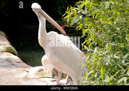 a behind looking looking pink pelican, Pelecanus onocrotalus - Stock Photo