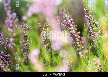 Purple common heather (Calluna vulgaris) Blooming Heather field in the Netherlands national park, flower fields in August - Stock Photo