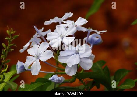 MILKY WHITE BLOSSOM - Stock Photo