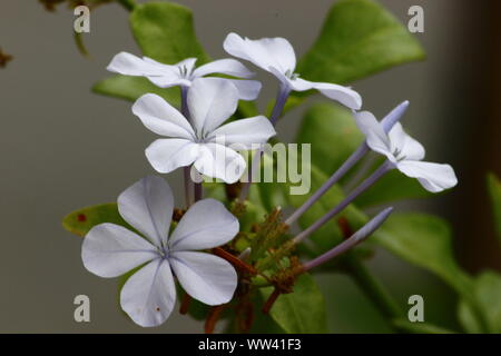 THE MILKY WHITE FLOWERS AND BUDS - Stock Photo