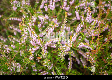 Blossom wild heather on upland meadow. Top down macro shoot - Stock Photo