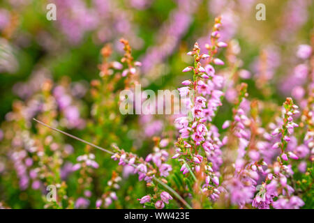 Blossom wild heather on upland meadow. Close up macro shoot with shallow DOF - Stock Photo