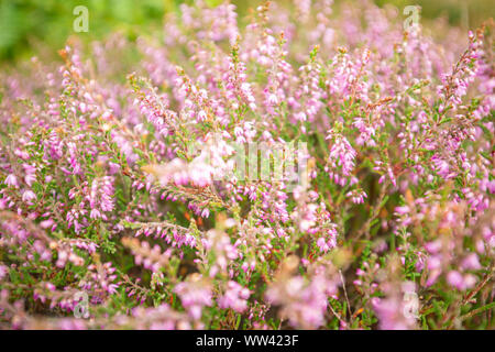Blossom wild heather on upland meadow, close up with blurry background - Stock Photo
