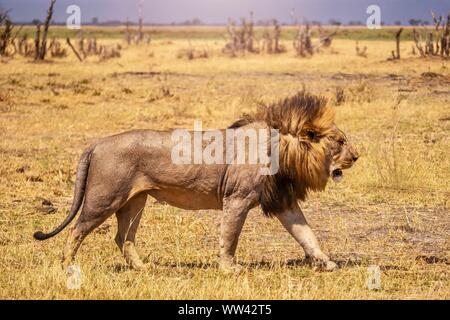 Close-up side view of a male lion walking past the camera, with his long mane blowing in the wind. - Stock Photo