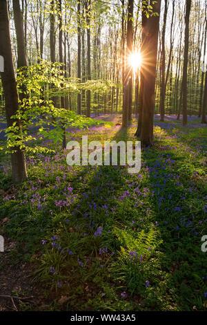 Beautiful bluebells grow and cover the forest floor in the Hallerbos forest for a few weeks in the spring. Belgium's tourist attraction. Purple - Stock Photo